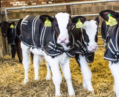 Latest Technical Bulletin : Weaning The High Fed Milk Calf