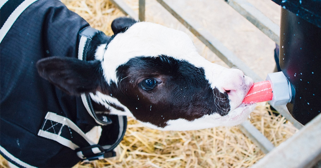 Pre-weaned Heifer Calves Need More Milk